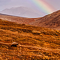 Rainbow Over Grizzly In Denali by Jeff Folger