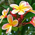 Rainbow Plumeria - No 4 by Mary Deal