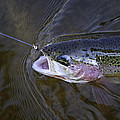 Rainbow Trout 4 by Thomas Young