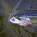 Rainbow Trout  by Thomas Young