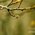 Raindrop On A Leaf Bud by Rachel Duchesne