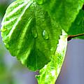Raindrop On Roses by Cathy Shiflett