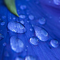 Raindrop Pansy by Anne Gilbert
