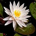 Raindrop Water Lilly by Cindy Archbell