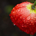 Raindrops And Poppy by Lindley Johnson