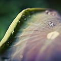 Raindrops On A Lotus Leaf by Priya Ghose