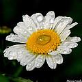 Raindrops On Daisy by Mary Williamson