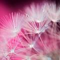 Raindrops On Dandelion Magenta by Marianna Mills
