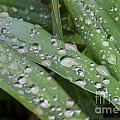 Raindrops On Daylily Leaves by Jonathan Welch