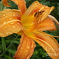 Raindrops On Golden Lily by Lingfai Leung