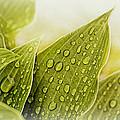 Raindrops On Hostas by Mel Hensley