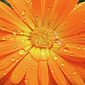 Raindrops On Orange Daisy Flower by Jennie Marie Schell