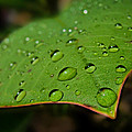 Raindrops On Plumeria Leaf by TK Goforth