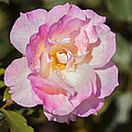 Raindrops On Rose Petals by Michelle Wrighton