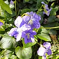 Raindrops On Violets by Cynthia Woods