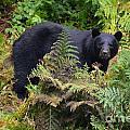 Rainforest Black Bear by Deanna Cagle