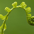Rainforest Fern Unfurling Sabah Borneo by Sebastian Kennerknecht