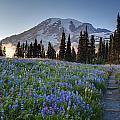 Rainier Evening Lupine Fields by Mike Reid
