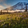Rainier Golden Sunlit Meadows by Mike Reid