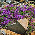 Rainier Wildflowers by Greg Norrell