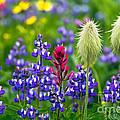 Rainier Wildflowers by Michael Russell