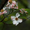 Rainy Day Dogwood by Douglas Stucky