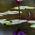 Rainy Day Lotus Flower Reflections IIi by Roy Williams