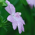 Rainy Day Mallow by Amy Porter