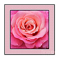 Rainy Day Rose Square by Barbara Griffin