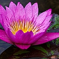 Rainy Day Water Lily Reflections II by Roy Williams