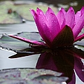 Rainy Day Water Lily Reflections 6 by Roy Williams