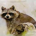 Rakish Raccoon  by Kerri Farley