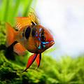 Ram Fish by Nathan Abbott
