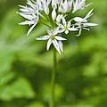 Ramsons Wild Garlic Allium Ursinum by Liz Leyden