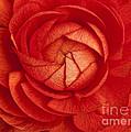 Ranunculus by Claudia Kuhn