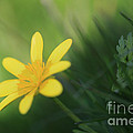 Ranunculus Ficaria - Yellow Buttercup by LHJB Photography