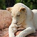 Rare Female White Lion by Davandra Cribbie