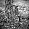 Raspberry Elk Black And White by LeeAnn McLaneGoetz McLaneGoetzStudioLLCcom