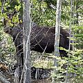 Raspberry Moose by Gene Cyr