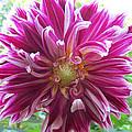 Raspberry Sundae Dahlia by Robert Speziale
