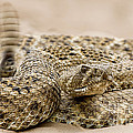 Rattlesnake 1 by Jerry Fornarotto