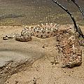 Rattlesnake Arizona Desert by Douglas Barnett