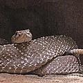 Rattlesnake by Rudi Prott