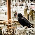 Raven Ucluelet  by Roxy Hurtubise