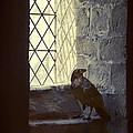 Raven By Window by Jill Battaglia
