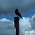 Raven Checking The Wind by Jacklyn Duryea Fraizer