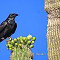 Raven  by Heather Coen
