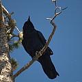 Raven by Jacklyn Duryea Fraizer