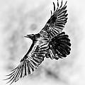 Raven Of Death Valley by Tomasz Dziubinski