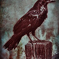 Raven Perched On A Post by Jill Battaglia